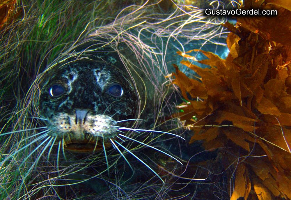 Lobo marino en el kelp